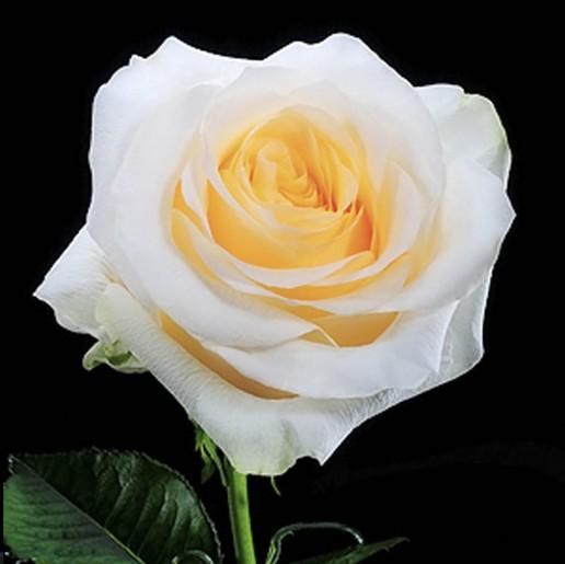 Cream De La Cream Roses