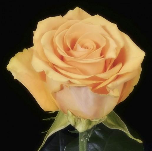 Cumbia Roses