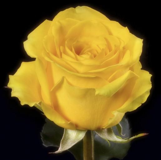 Dark Mohana Roses