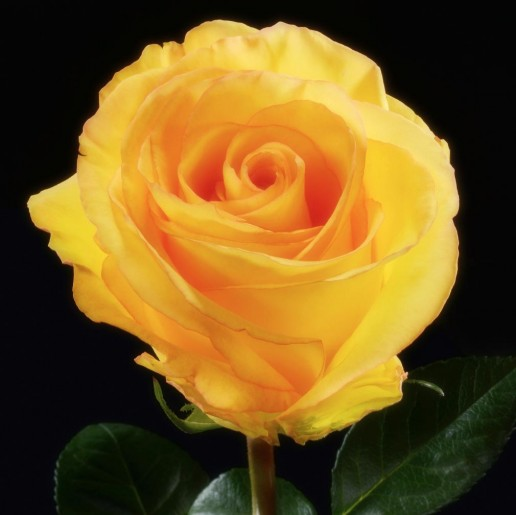 Deja Vu Roses