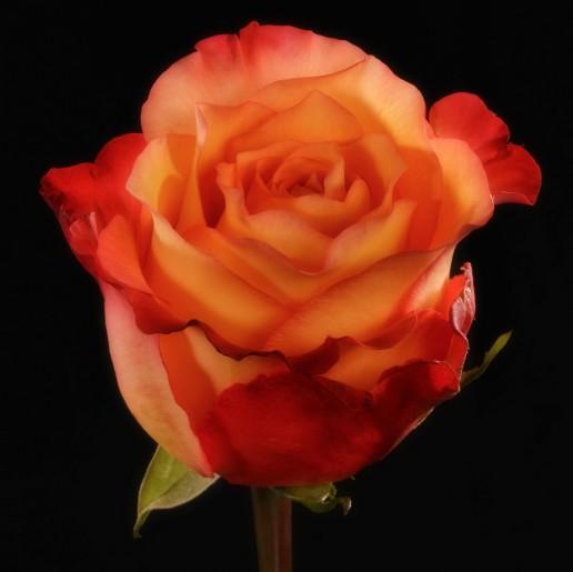 Encanto Roses