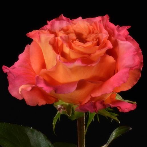 Free Spirit Roses