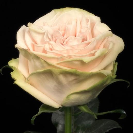 Garden Spirit Roses