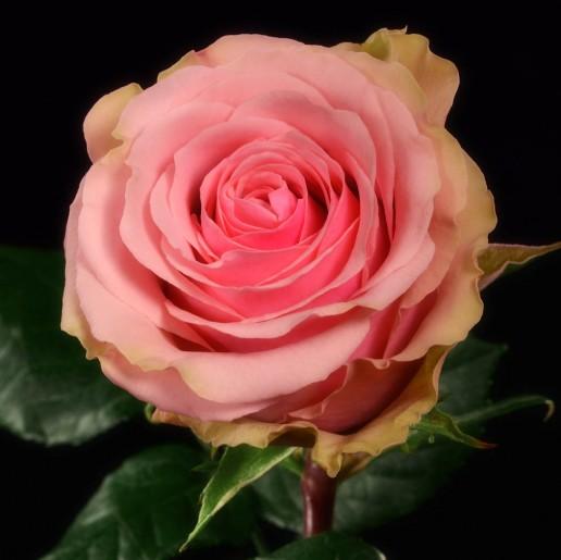 Geraldine Roses