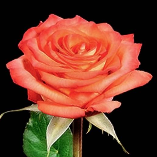 High and Magic Roses