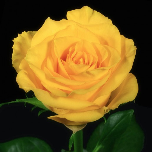 High and Yellow Magic Roses
