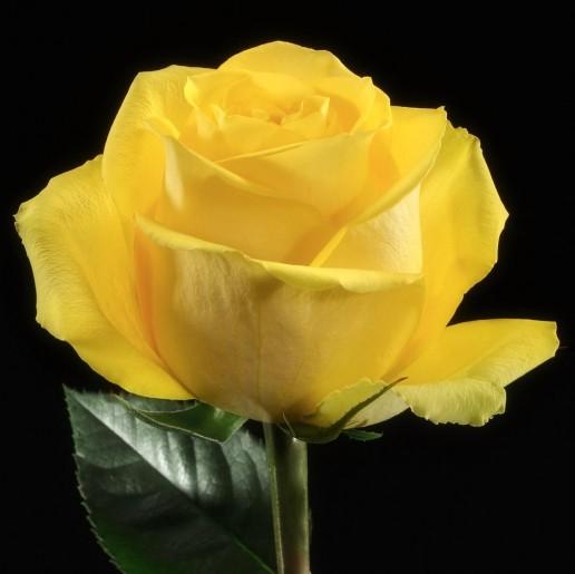 Latina Roses