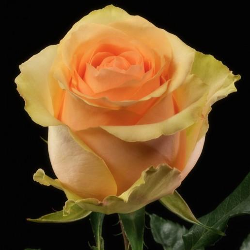 Nectarine Roses