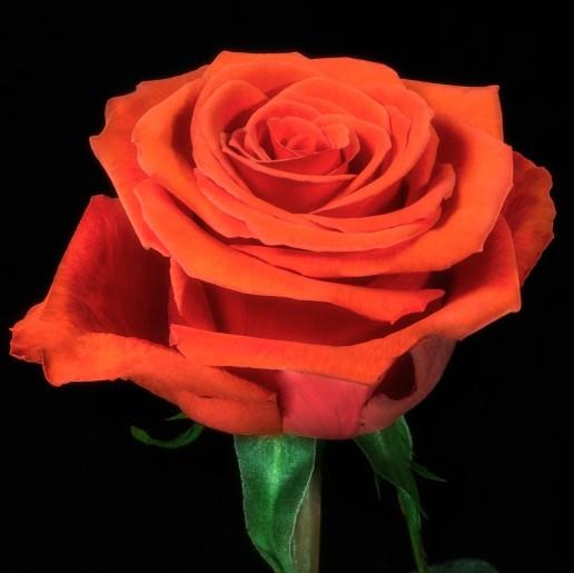 Nina Roses