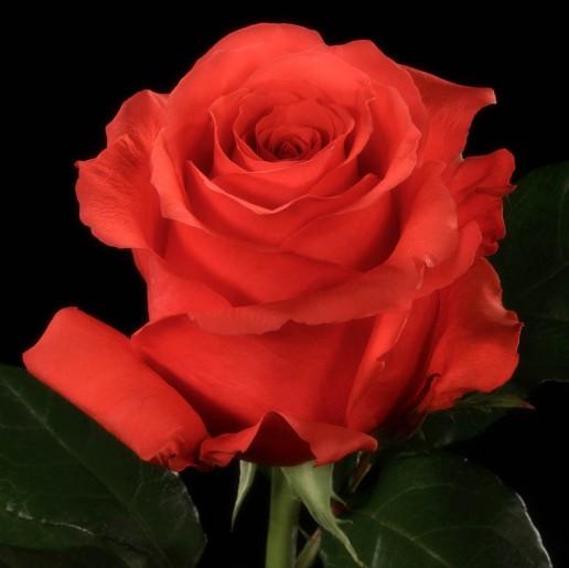 Rock Star Roses