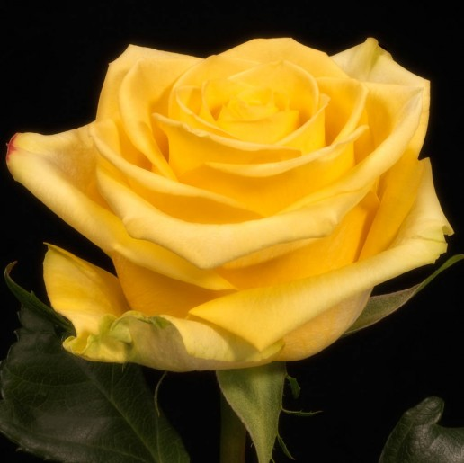 Star Dust Roses