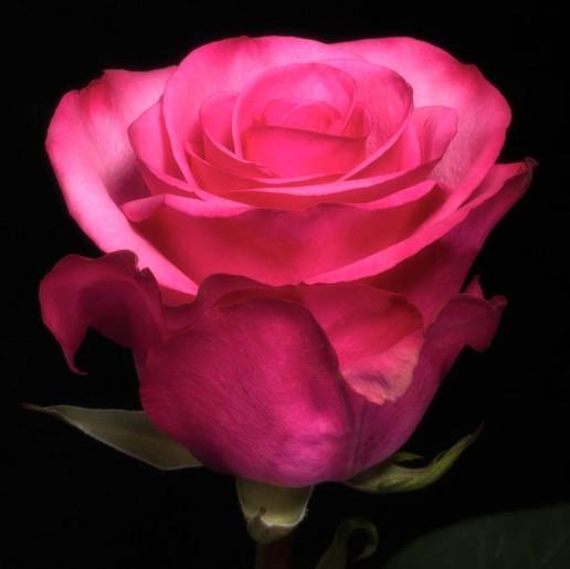 Stiletto Roses