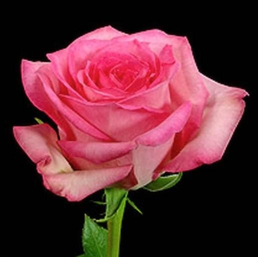 Sweet Unique Roses