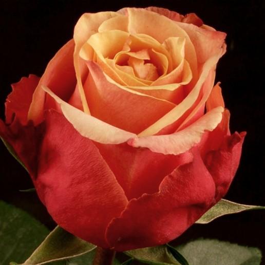 Senorita Roses