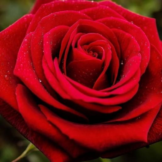 Red Farm Choice Roses