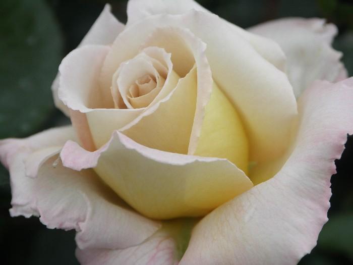cream farm choice roses - Cream Garden Rose