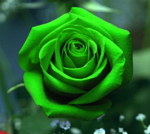 Green Farm Choice Roses