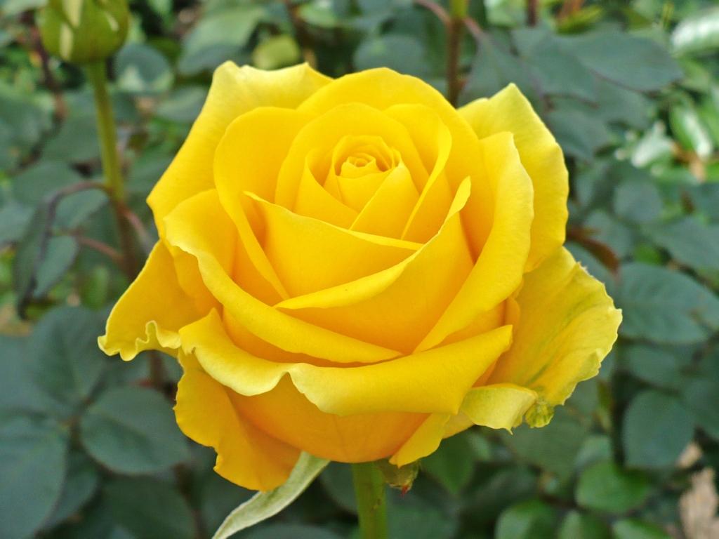 Yellow Farm Choice Roses