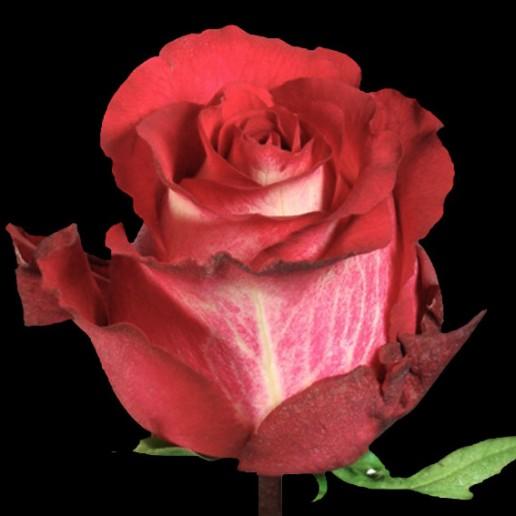 Iguazu Roses