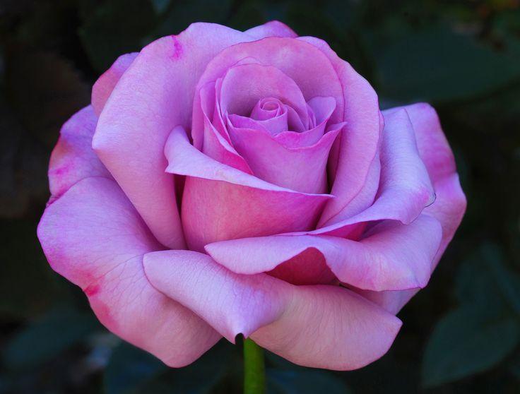 Lavender Farm Choice Roses