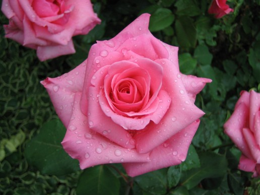 Light Pink Farm Choice Roses