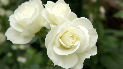 White Farm Choice Roses