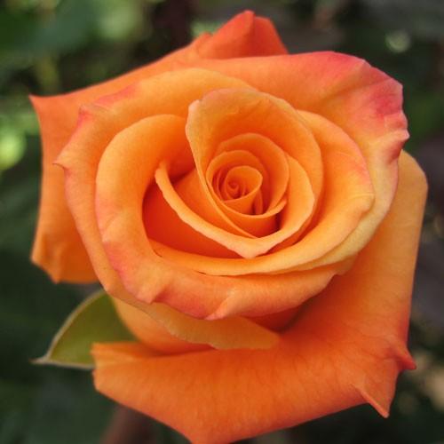 Orange Farm Choice Roses