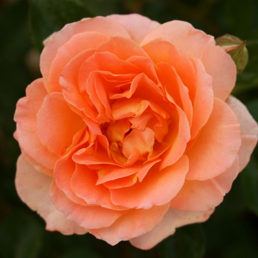 Peach Farm Choice Roses