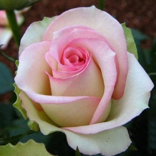 White Pink Farm Choice Roses